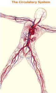 ciculatorysystem